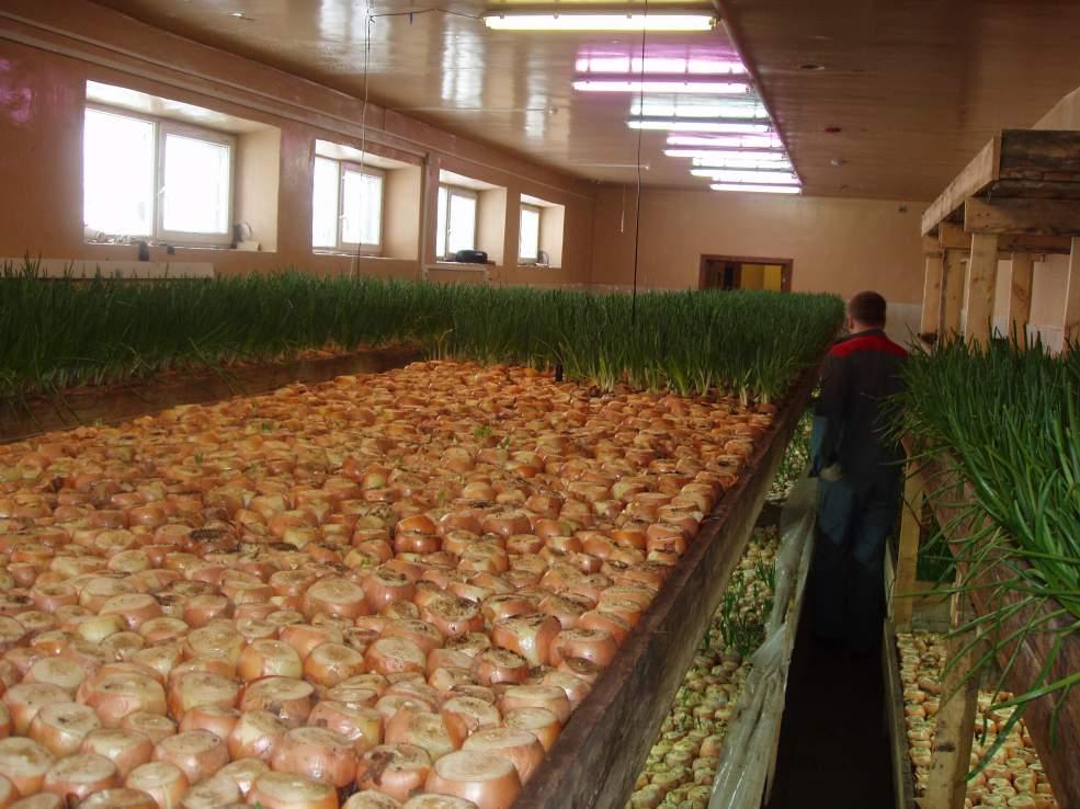 Выращивание лука в подвале как бизнес передвигался